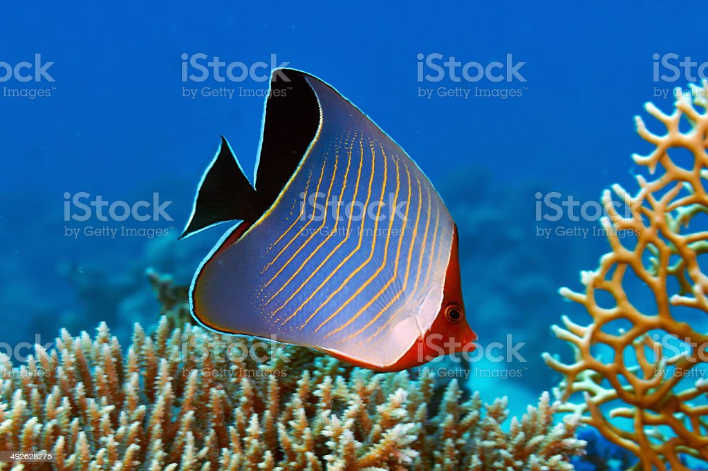 Hooded butterflyfish stock photo