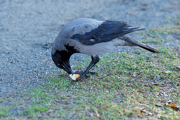 Hooded Crow eating small piece of bread held by claws stock photo