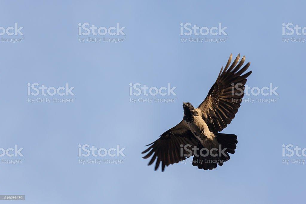 Hooded Crow stock photo