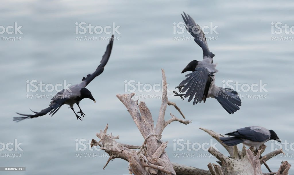 Hooded crows against dried branches stock photo