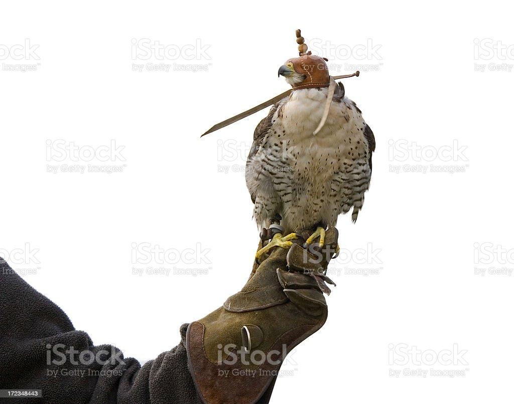 hooded Falcon bird stock photo