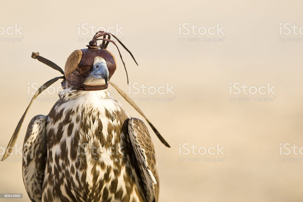 Hooded Falcon In The Desert of Arabia stock photo