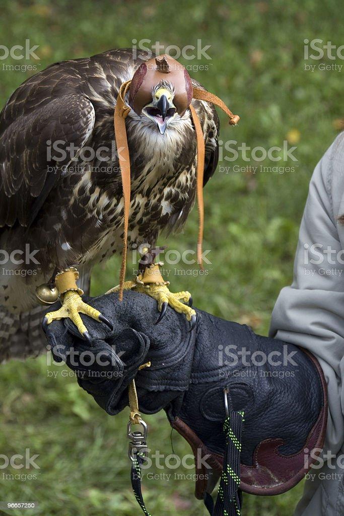 Hooded Falcon royalty-free stock photo