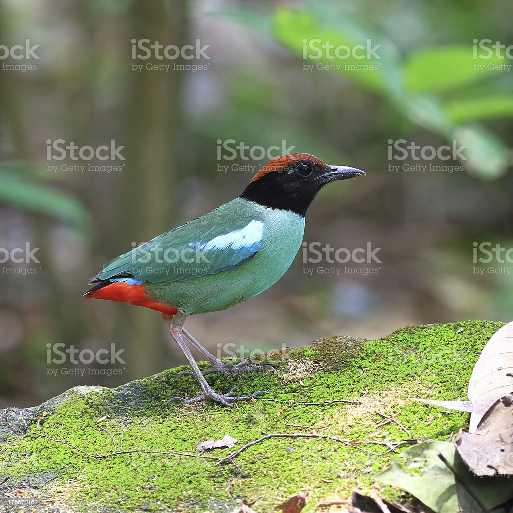 Hooded Pitta royalty-free stock photo