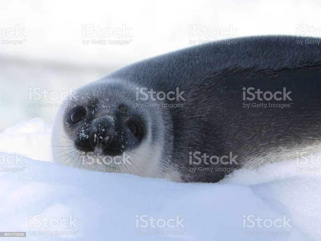 Hooded Seal Pup (blueback) stock photo