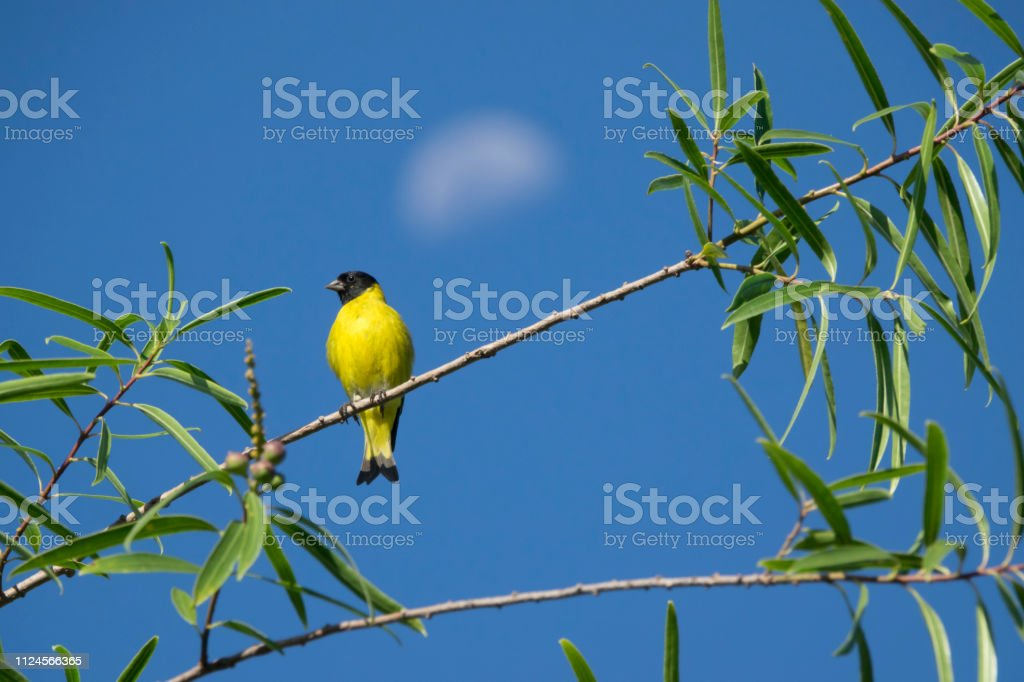 Hooded siskin and moon Constanera Sur Ecological Reserve Buenos Aires Argentina stock photo