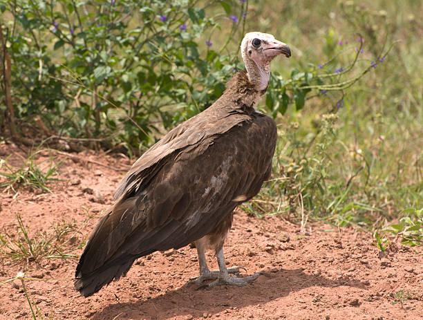 Hooded Vulture (Necrosyrtes monachus), Kenya stock photo
