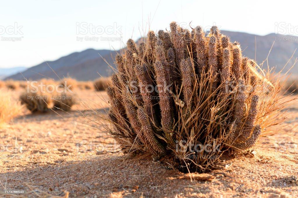 Hoodia Gordonii Bush In Desert Landscape Stock Photo Download