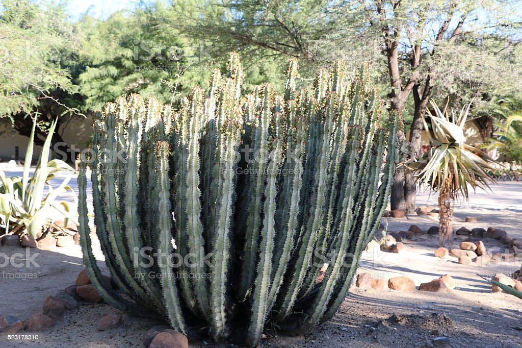 Hoodia Gordonii In Namibia Africa Stock Photo Download Image Now