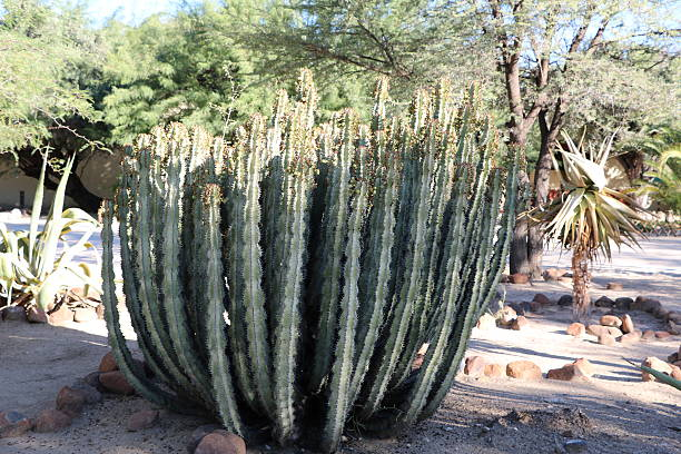 hoodia gordonii en namibia, áfrica - opuntia robusta fotografías e imágenes de stock