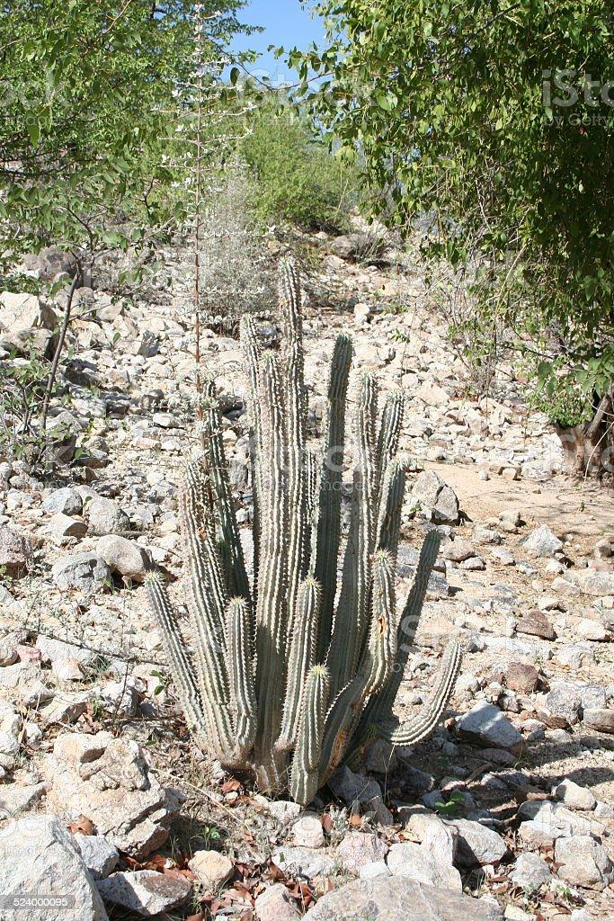 Hoodia Gordonii Plant Close Epupa Kunene River Namibia Africa