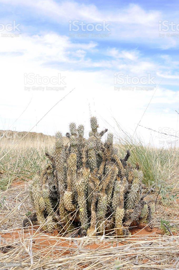 Hoodia Gordonii Plant In Kalahari Desert Stock Photo Download