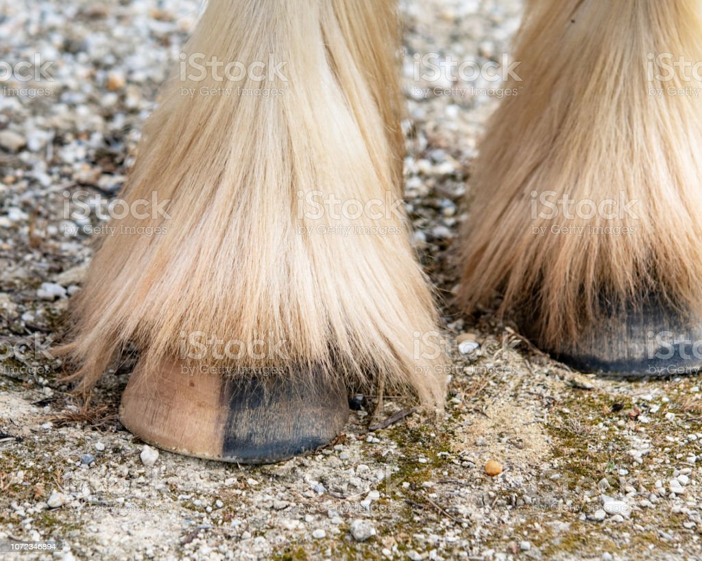 Hoof with feathered fetlock stock photo