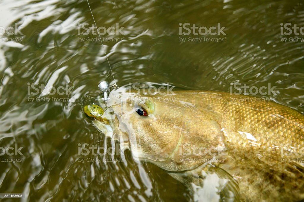 Hooked bass being reeled in swimming underwater stock photo