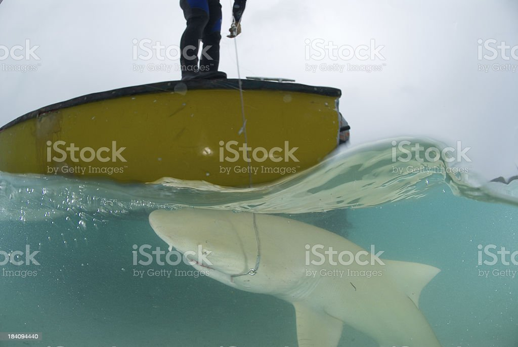 hooked shark next to boat stock photo