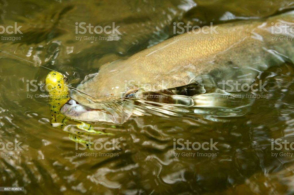 Hooked smallmouth bass being reeled in stock photo