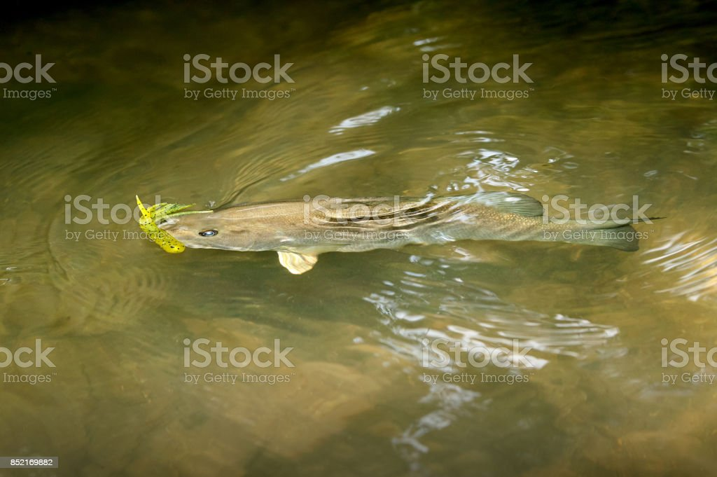 Hooked smallmouth bass swimming in the shallows stock photo
