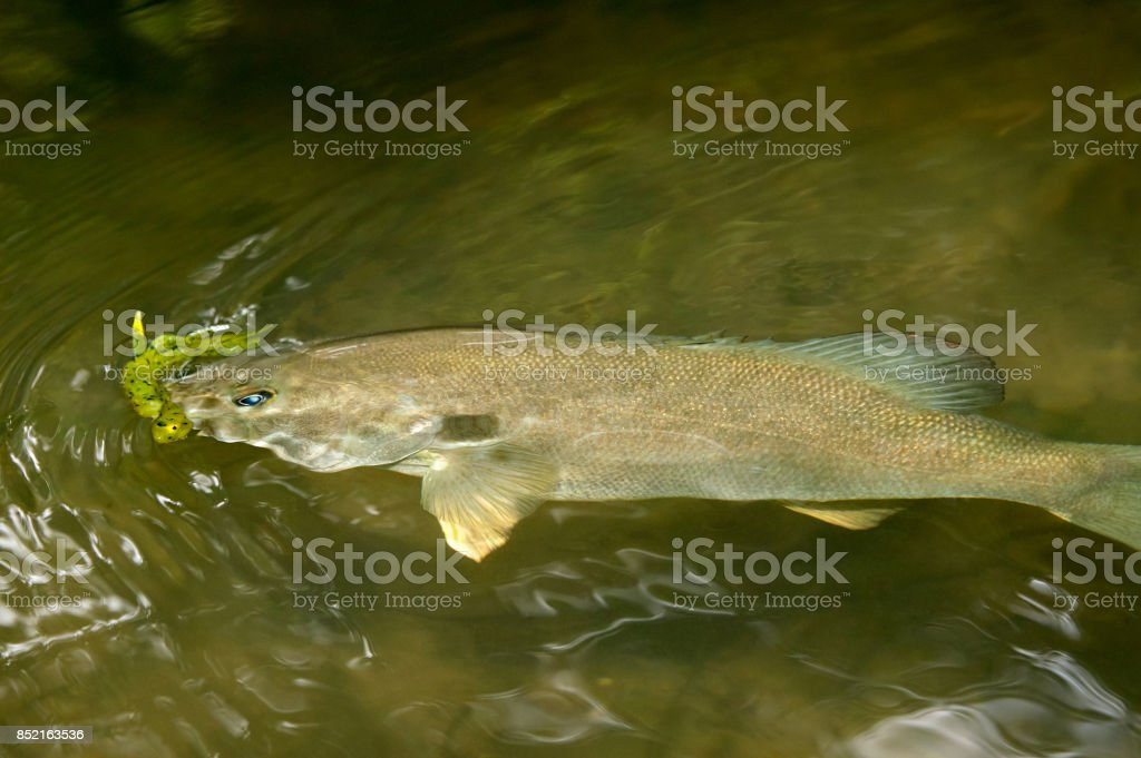 Hooked smallmouth bass with yellow bobber stock photo