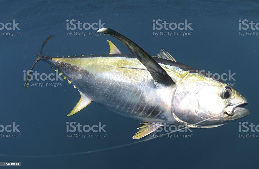 hooked yellow fin tuna fish underwater stock photo