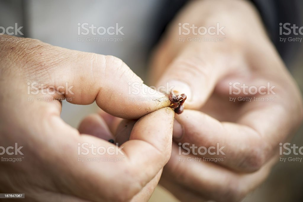 Hooking the Worm royalty-free stock photo