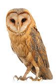 Barn Owl (Tyto alba) in front of a white background.
