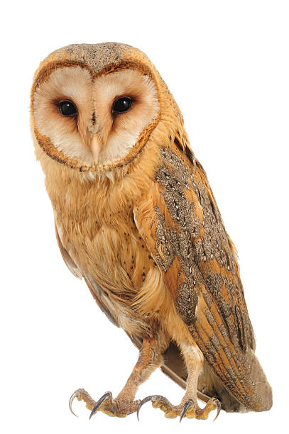 Hoot is what a barn owl says picture id91778848?b=1&k=6&m=91778848&s=612x612&w=0&h=fkftphpgxre2t4pnekknmkfuo6xaxt6v kzd62mo4ho=