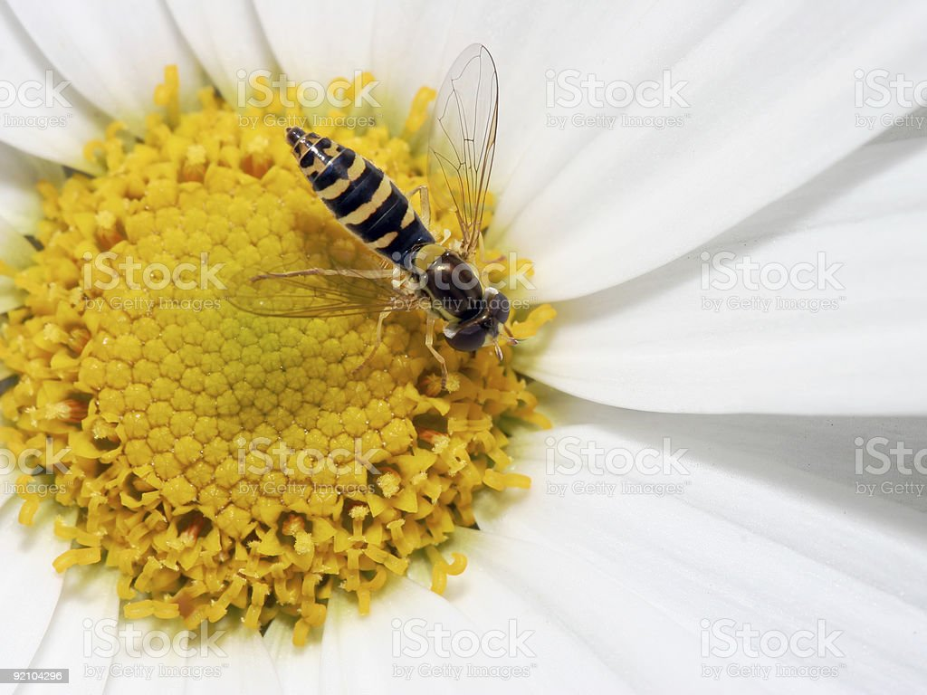 Hoover fly in white daisy stock photo
