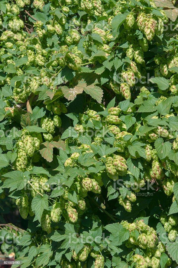 hop buds and leaves background photo libre de droits
