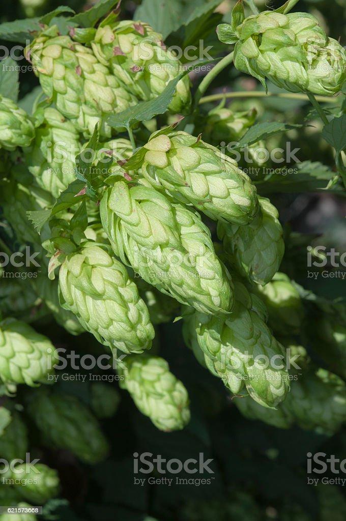 hop buds close up photo libre de droits