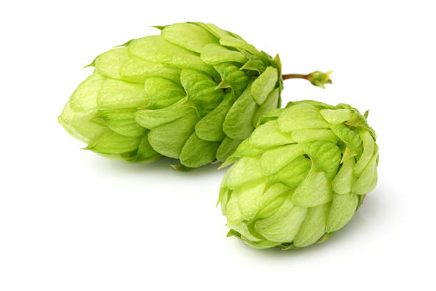 Hop close-up isolated stock photo