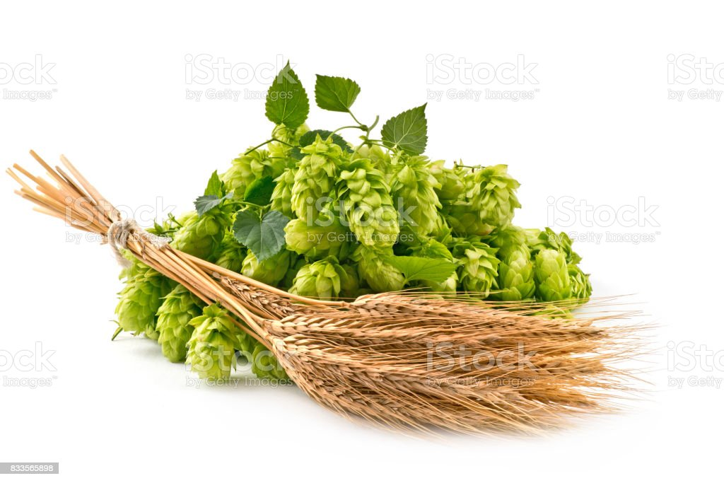 Hop Cones and Barley Isolated on the White Background. stock photo