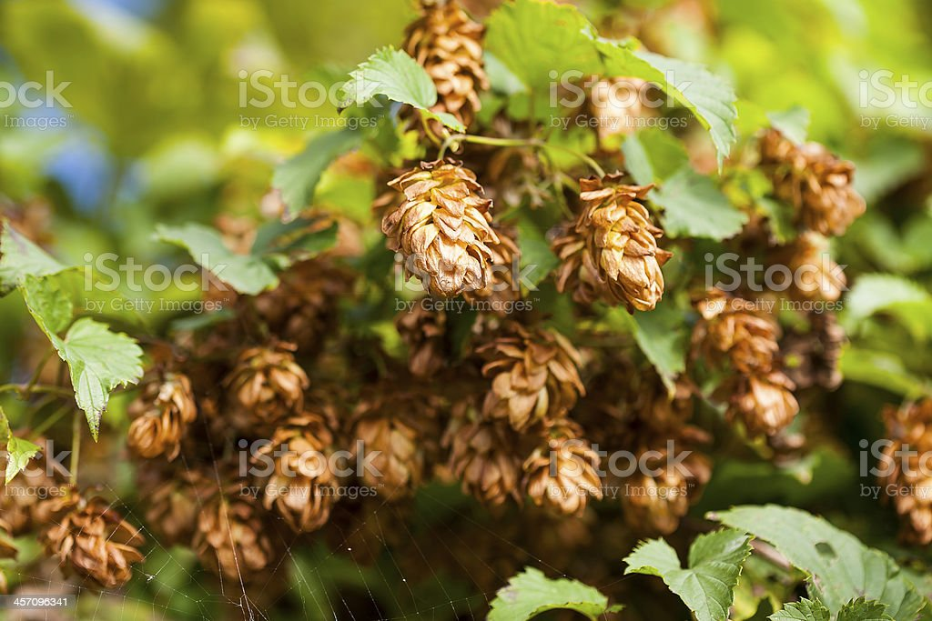 Hop cones and the leaves of hops. royalty-free stock photo