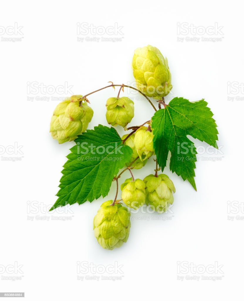 Hop Cones Isolated on the White Background stock photo