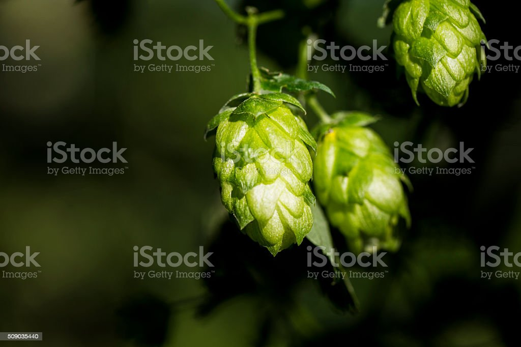 Hop cones organic raw ingredients for beer production. stock photo