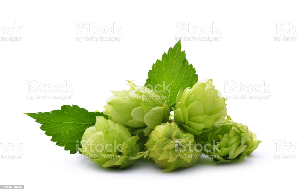 Hop cones (Humulus Lupulus) stock photo