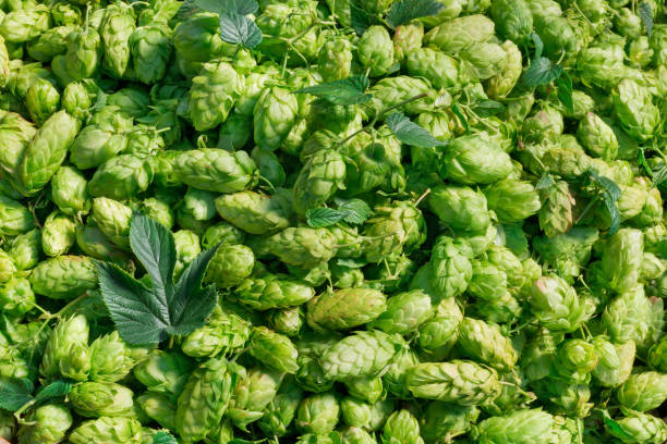 hop cones raw material for beer production stock photo