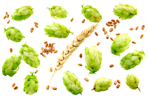 hop cones with ears of wheat isolated on white background with copy space for your text. Top view. Flat lay.