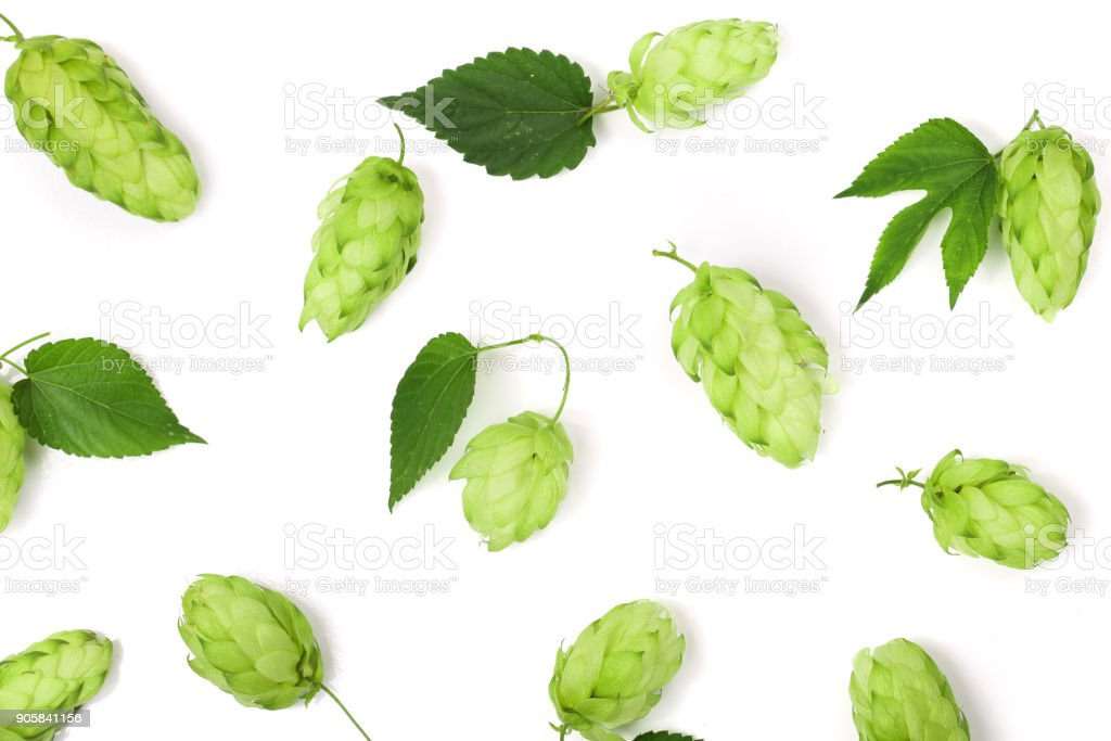 hop cones with leaf isolated on white background close-up. Top view stock photo