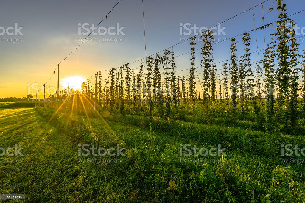 Hop Farm stock photo