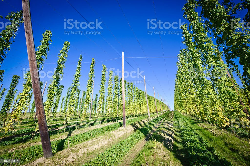 Hop Field in Austria royalty-free stock photo