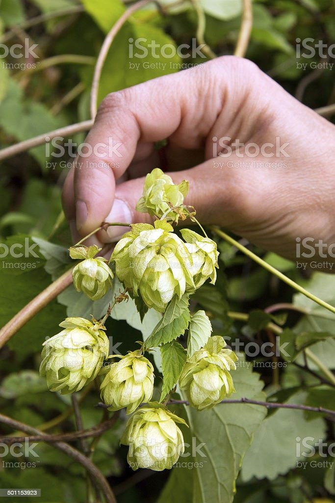 Hop fruits royalty-free stock photo