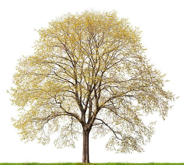 Hop Hornbeam tree (Ostrya carpinifolia) in spring isolated on white. stock photo