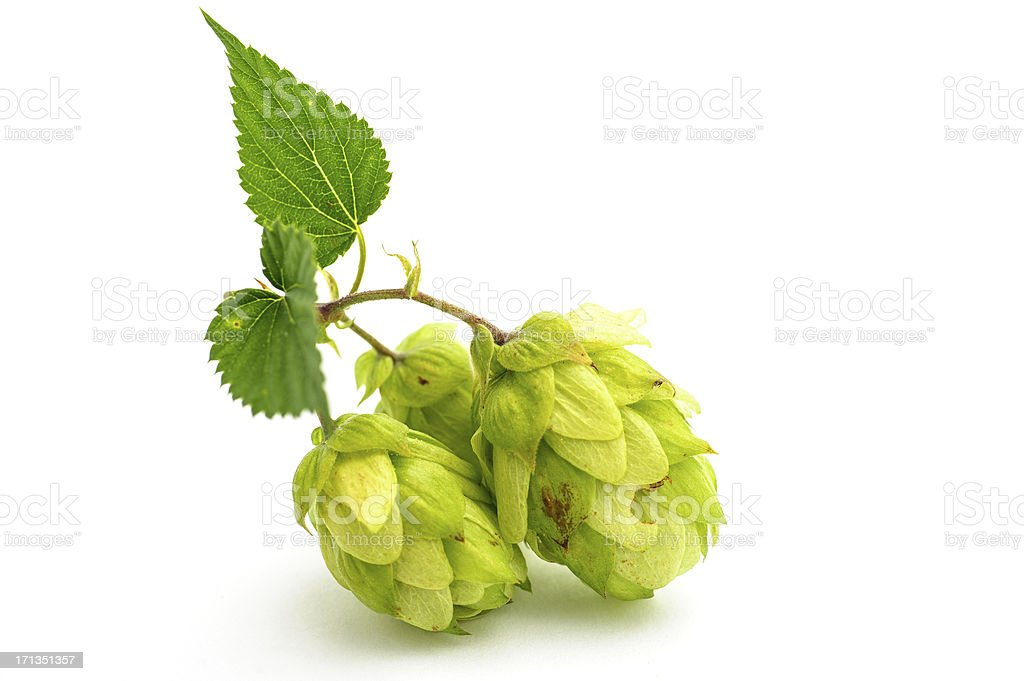 Hop on white stock photo