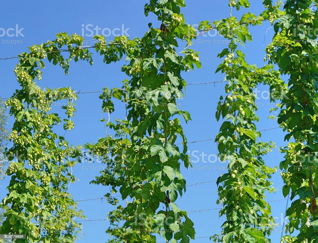 Hop (Humulus lupulus) stock photo
