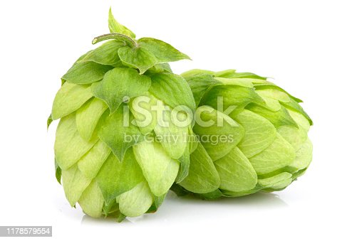 Hop plants isolated closeup on white background.