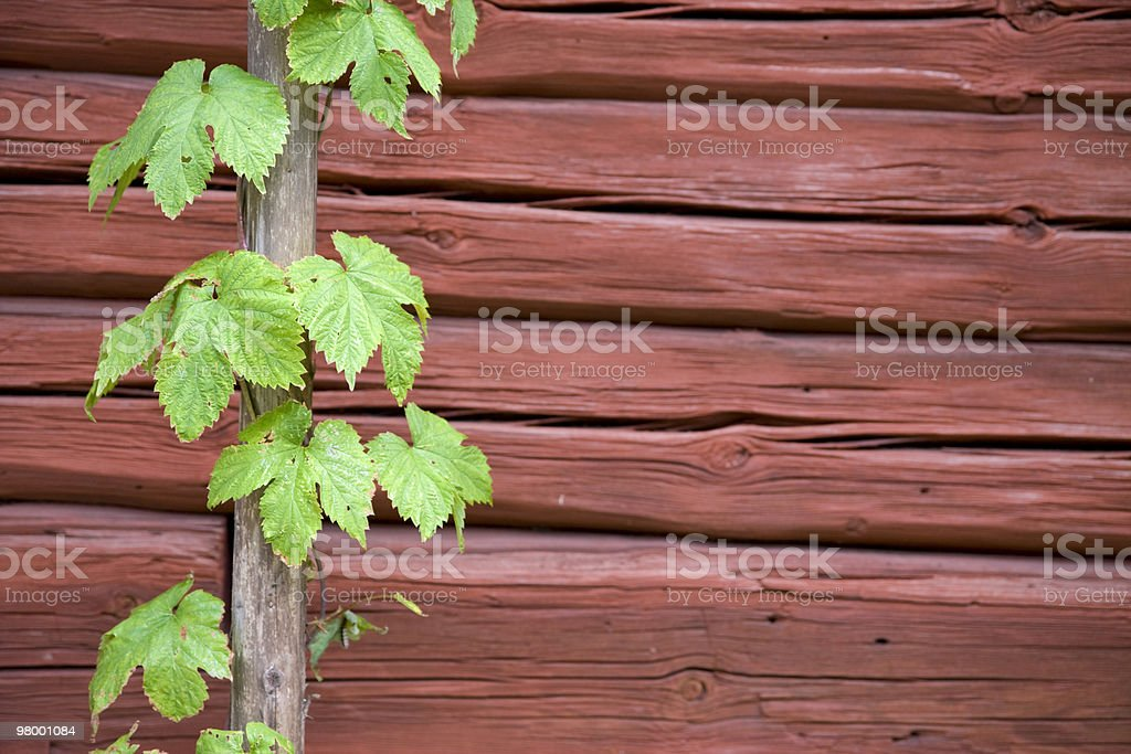 Hop vine royalty-free stock photo