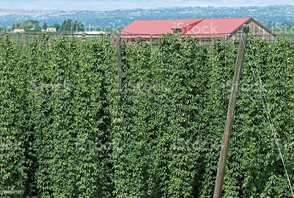 Hop vines and barn in Yakima Valley WA royalty-free stock photo