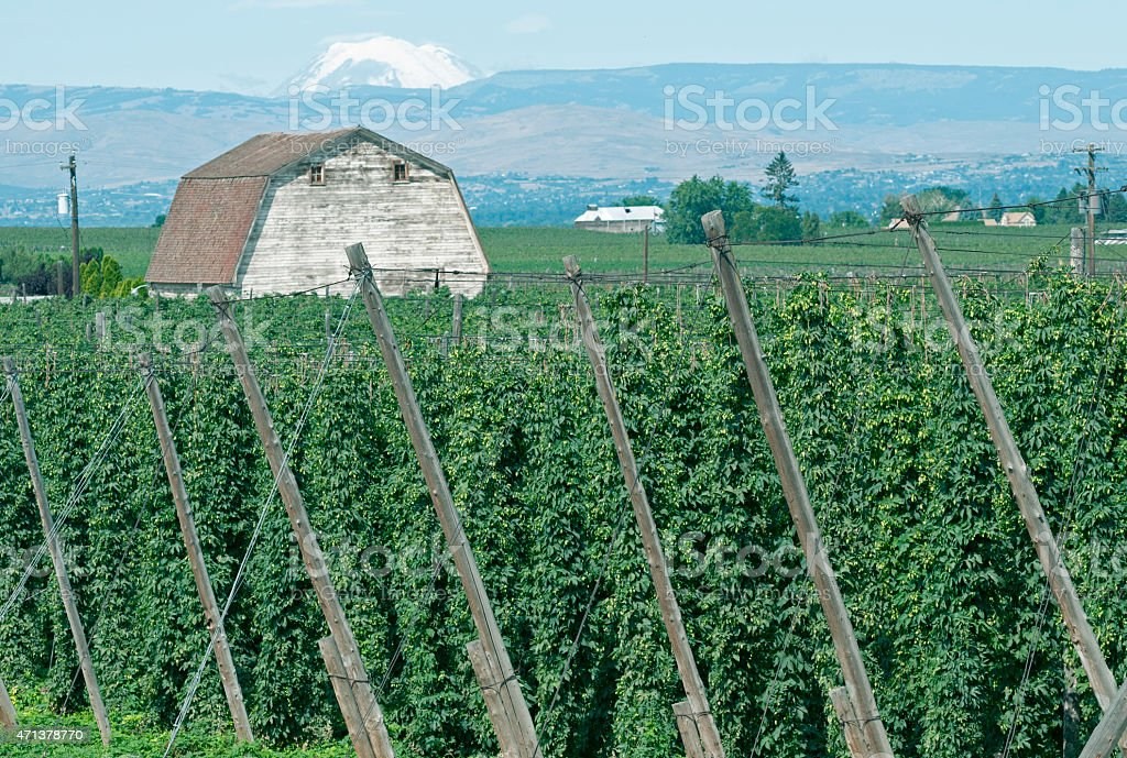 Hop Vines In Yakima Valley Wa Stock Photo - Download Image