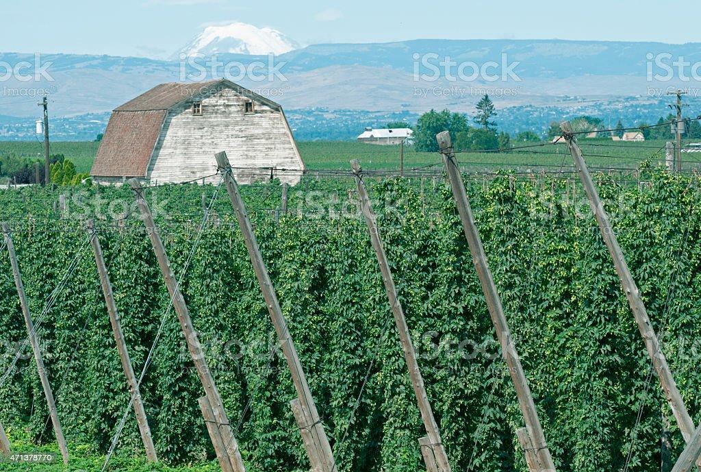 Hop vines in Yakima Valley WA stock photo