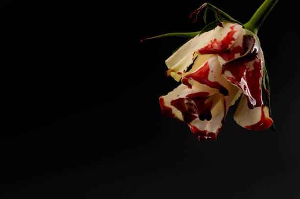 Desesperanza, inocencia perdida a través de la tragedia, el dolor y el luto de una idea conceptual de pérdida temprana con rosa blanca sangrante con gotas de sangre goteando aislada sin fondo negro con espacio de copia - foto de stock